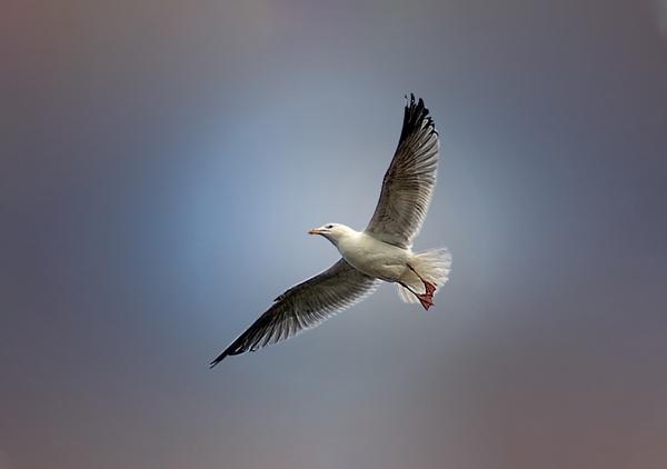 Jonathan Livingstone (Seagull) by Big_Beavis
