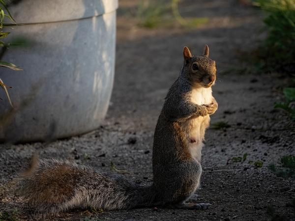 Grey Squirrel by royd63uk