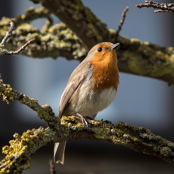 Robin by Silverlake