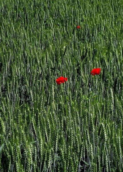 In Flanders fields the Poppies blow by Glynn