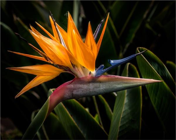 Bird of Paradise by KingBee