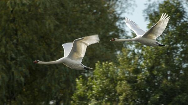 Flying Pair by chensuriashi