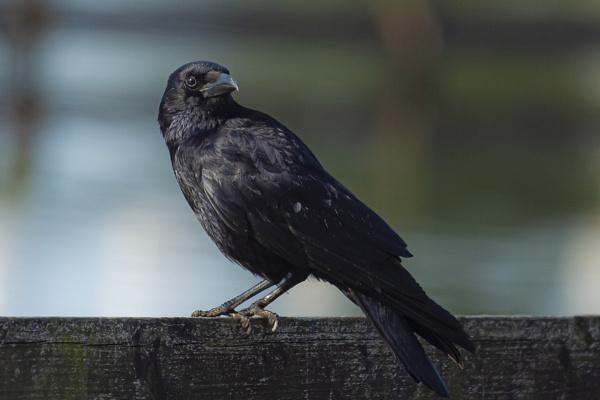 Crow by chensuriashi