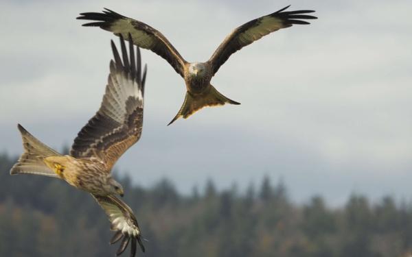 red kites by elmer1