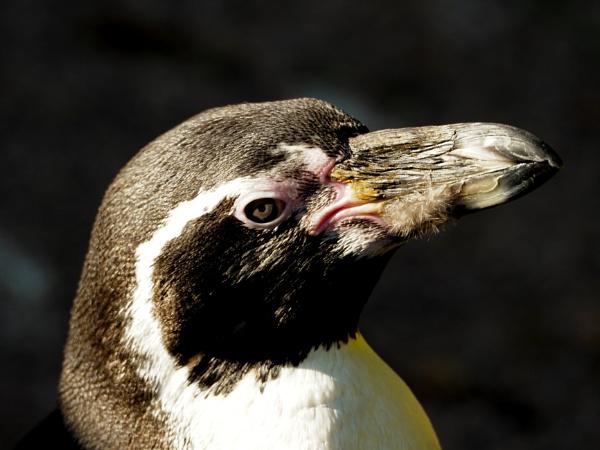 penguin by elmer1