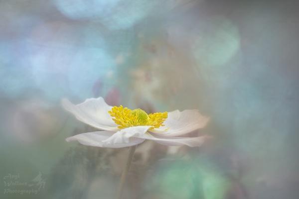 Japanese Anemone by Angi_Wallace