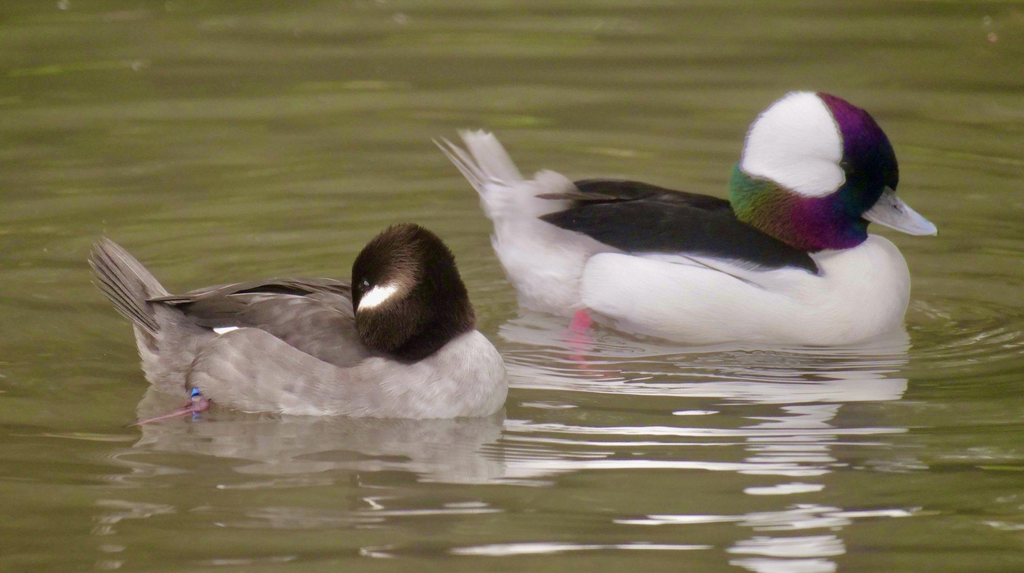male and female Bufflehead duck