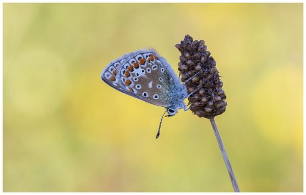 Common Blue - Polyommatus icarus. by NigelKiteley