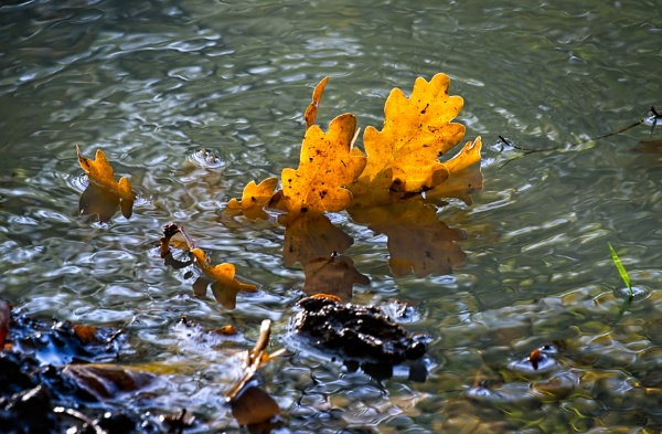 Fallen Oak leaves in a pond in illuminated by the autumn sunshin by Phil_Bird
