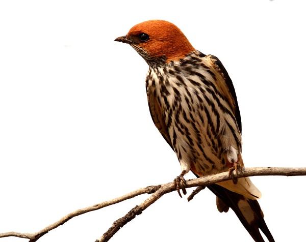 Lesser Striped Swallow by doolittle