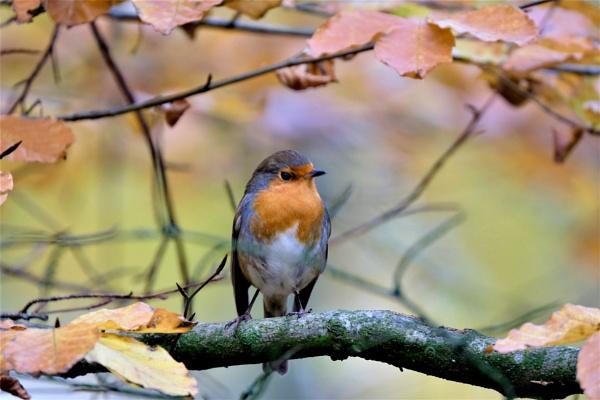 Robin erithacus rubecula by glenheg