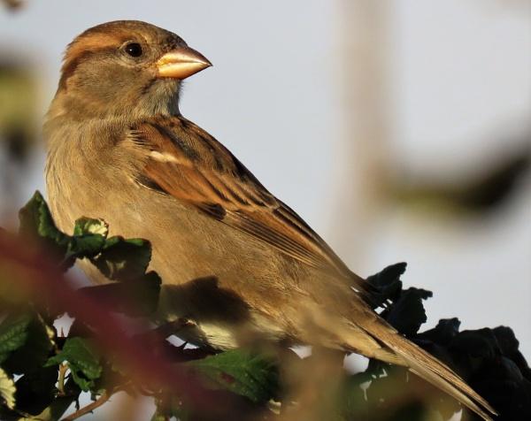 Serene Sparrow by JanOByrne