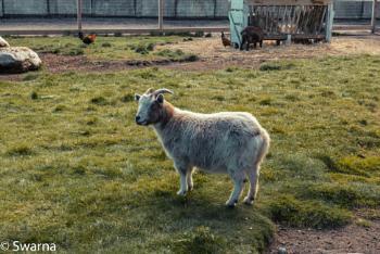 Goat - Richmond Country Farms