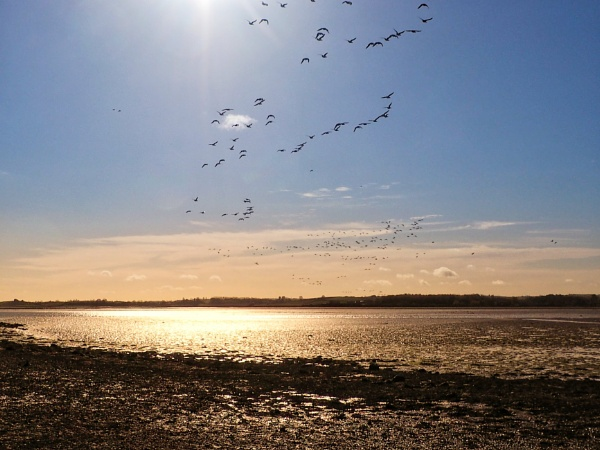Brent Geese at Strangford Lough by cats_123