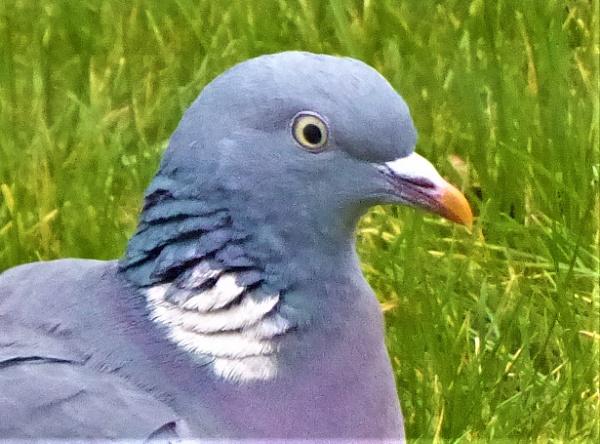 pigeon by jenny007