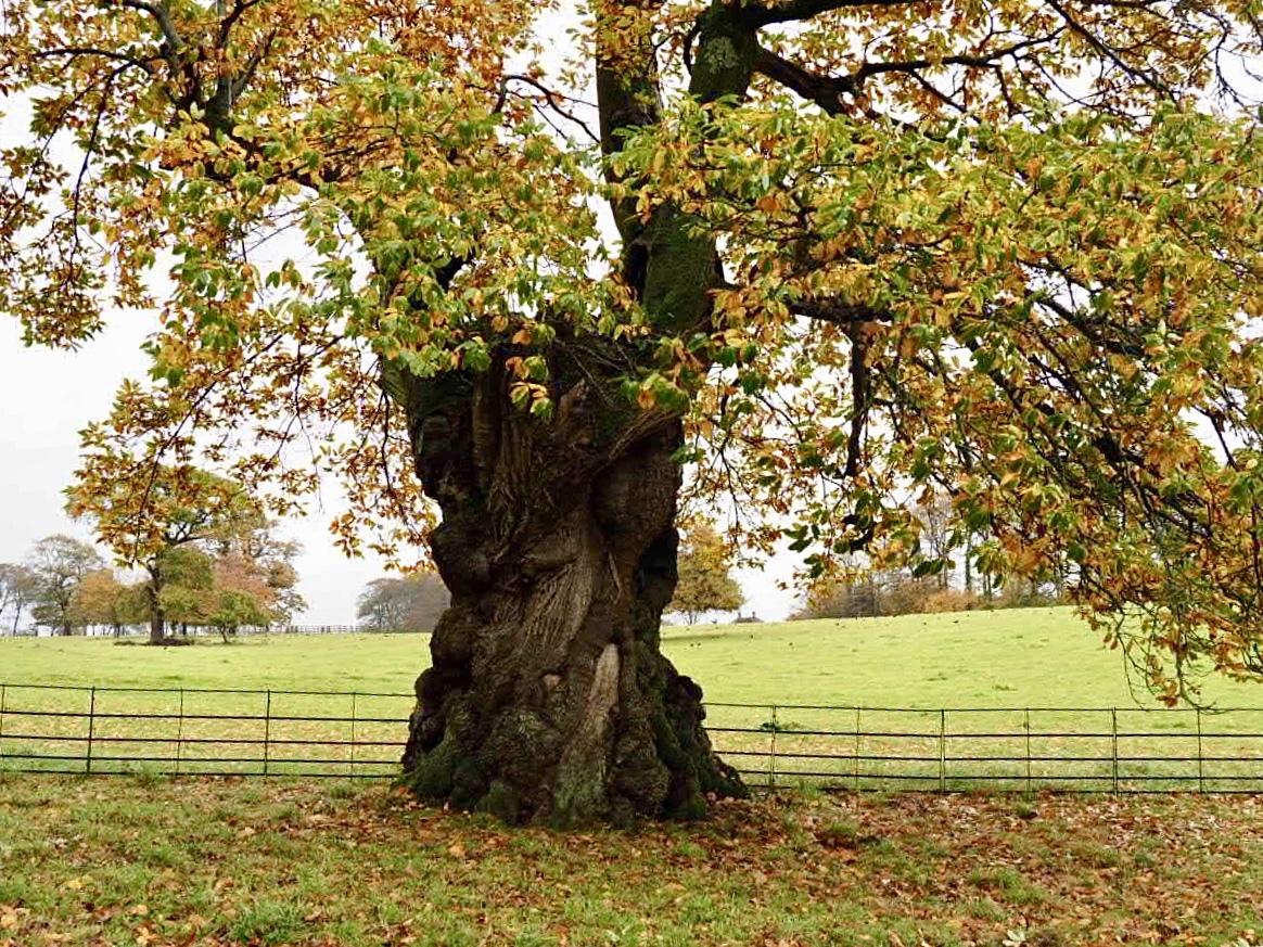 Oak tree in Autumn colours
