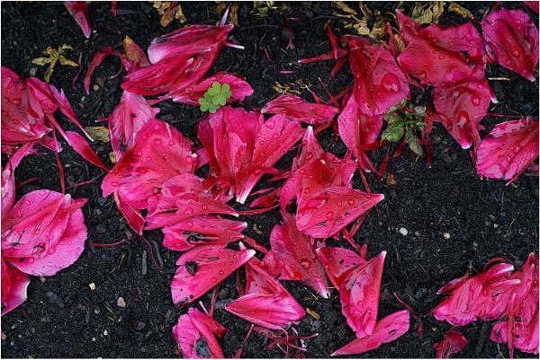 Persian Cyclamen Petals by johnriley1uk