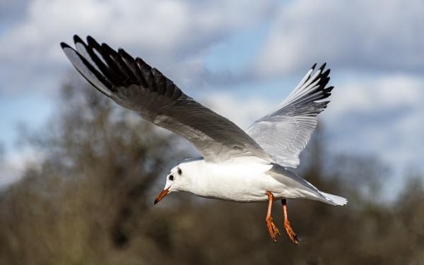 Black headed gull by jimobee