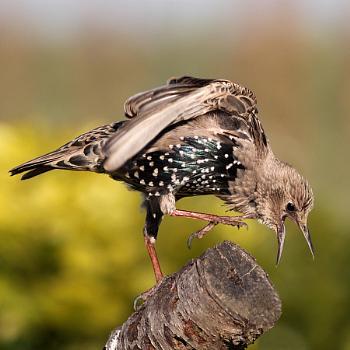 Angry Juvenile Starling