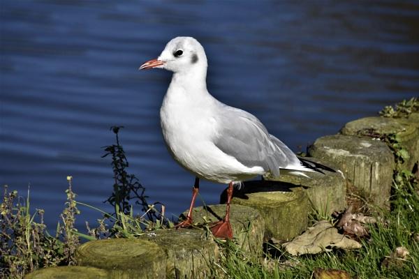 Black headed gull by Madoldie