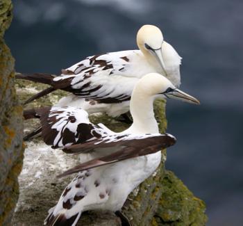 Juvenile Gannets