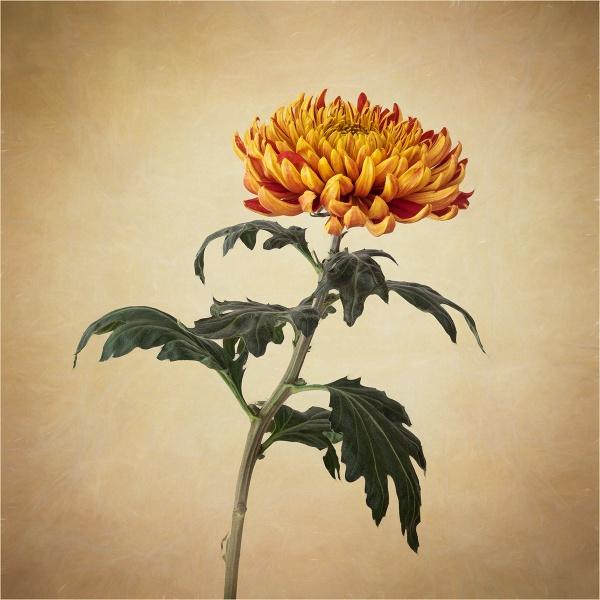 Chrysanthemum by Leedslass1