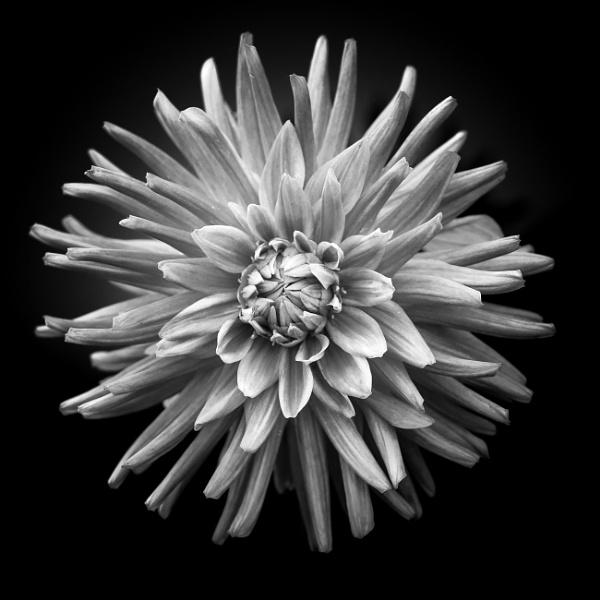 Dahlia by Silverlake