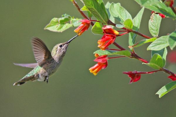 AnnaÂ's hummingbird by sssuresh