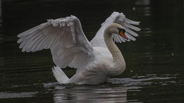 Swan Power by chensuriashi