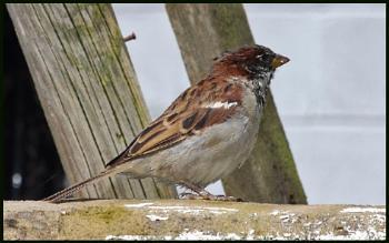 Tree Sparrow - Passer montanus :-