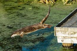 Otter Dive