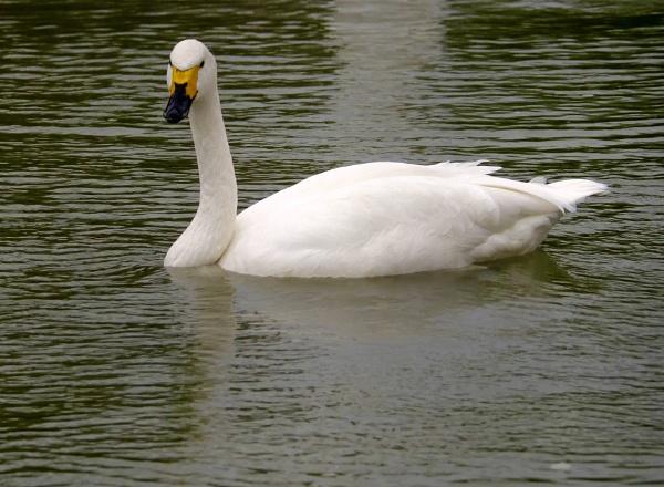 whooper swan by sparrowhawk