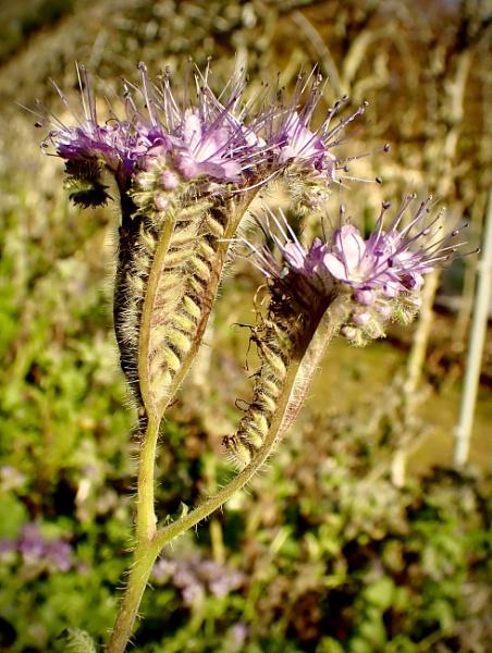 Phacelia tanacetifolia by nclark