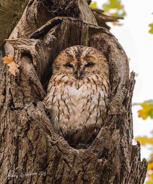 tawny owl by djgaryrichardson
