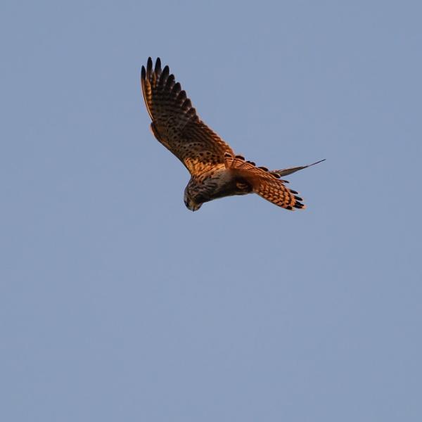 Kestrel in flight by iNKFIEND