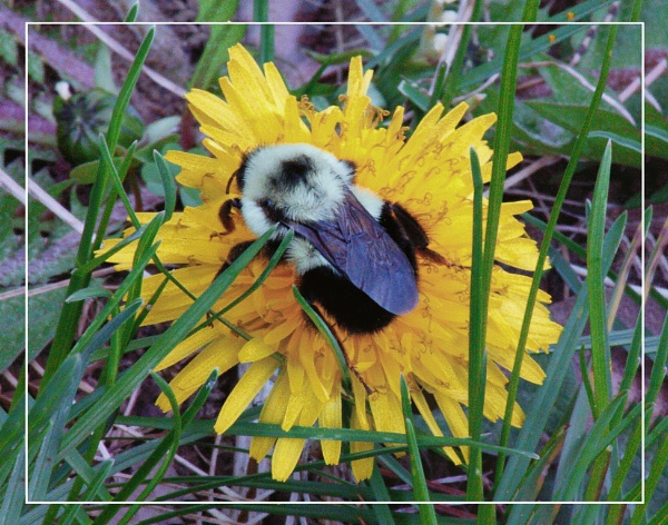 A Bumble Bee & A Dandelion  (best viewed large) by gconant