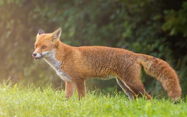 Fox Cub by BydoR9