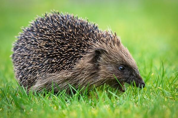 Foraging Hedgehog by BydoR9