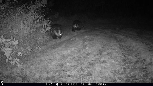 Badgers by tralfamadorean