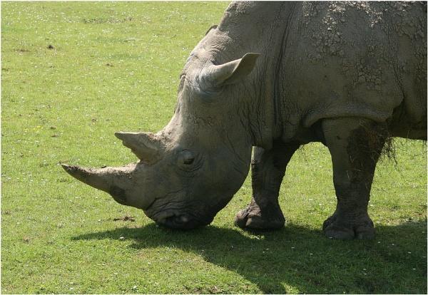 Rhino... by capto