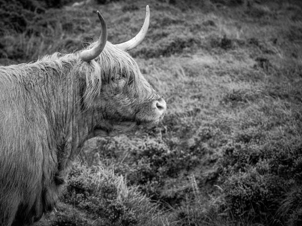 Highland cow by Stevetheroofer