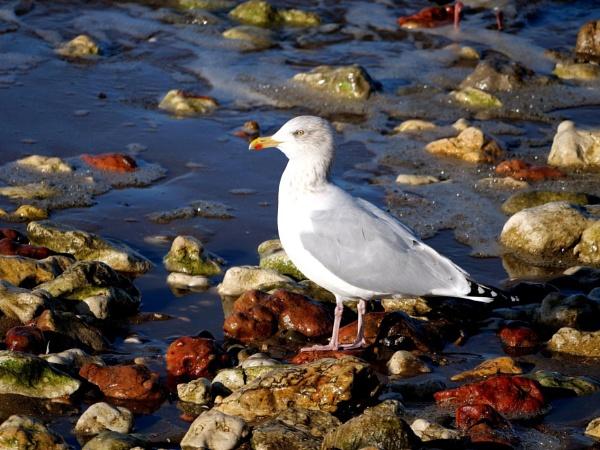 Herring gull by DerekHollis