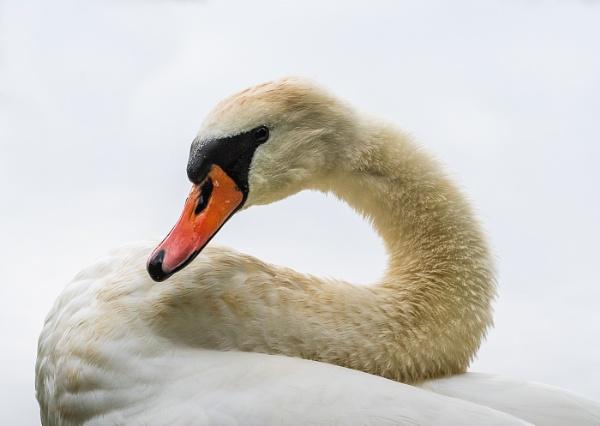 Swan Neck by Agglestone