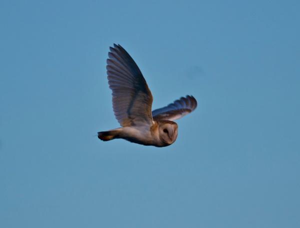 Barn owl by Lencollard