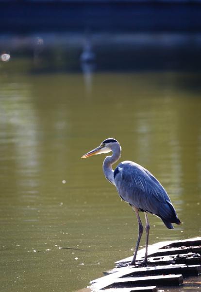 Gray heron near to the water by rninov