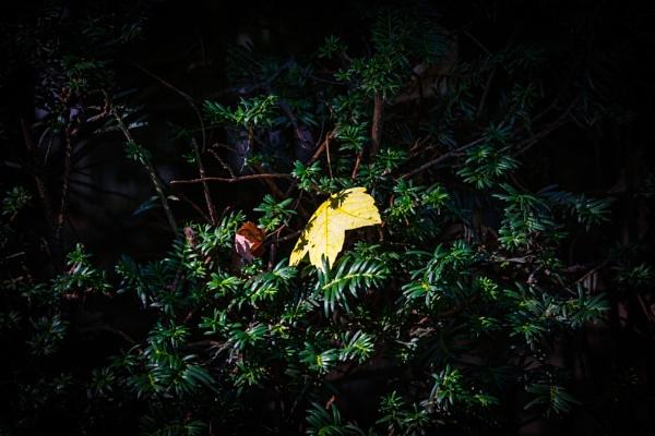 Dry leaf on evergreen tree by rninov