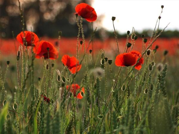 poppy by GwB