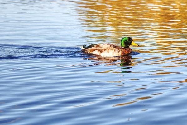 Mallard on a pond by dntphotographs