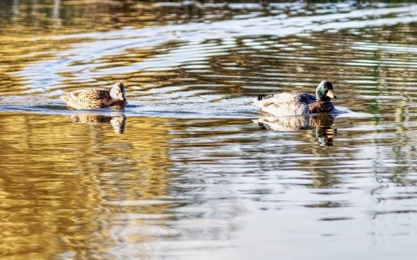 Mallards on a pond by dntphotographs