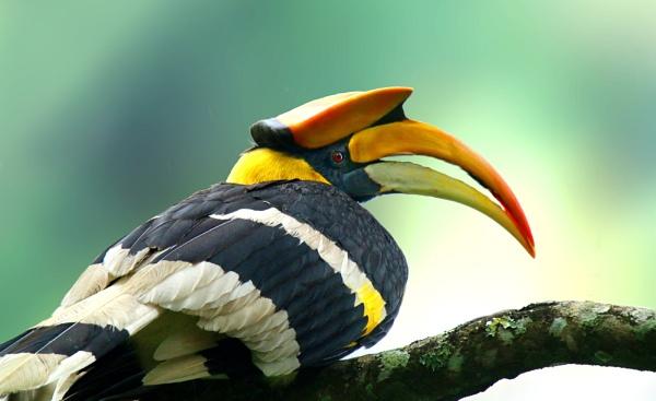 Great Indian hornbill by sssuresh